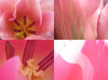 Dans une tulipe