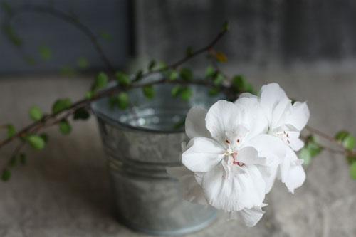 geranium3