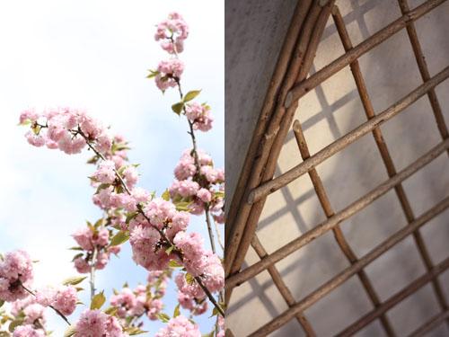 Cerisiers_fleurs3
