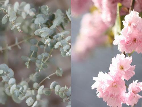 Cerisiers_fleurs4