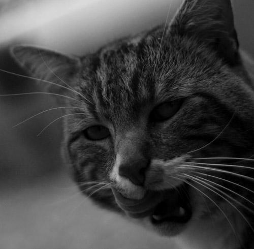 Chat_tigre