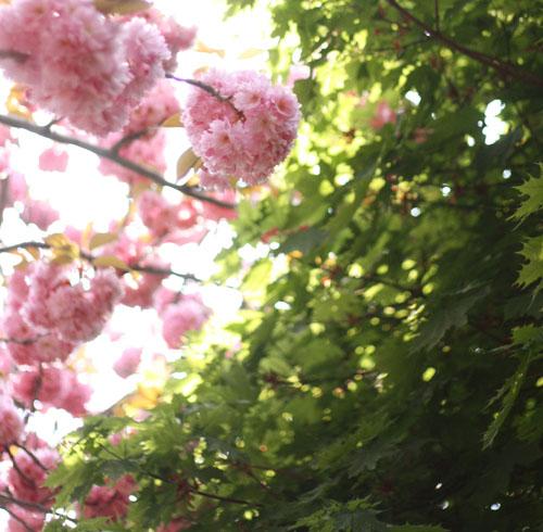 Fleurs_de_cerisier