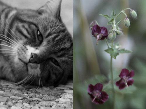 geranium_vivace