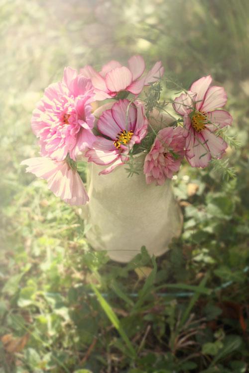 Bouquet de cosmos dans un vieux pichet