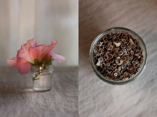 Récolte de graines de roses trémières