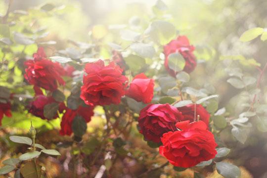 Faire pousser un rosier rouge