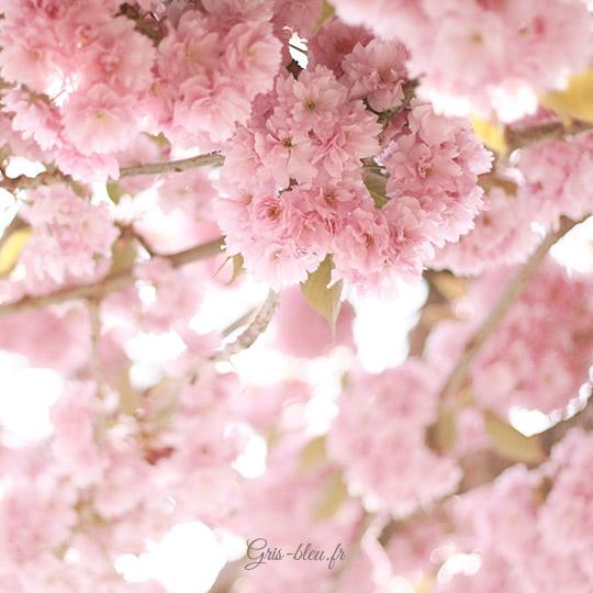 Prunus rose