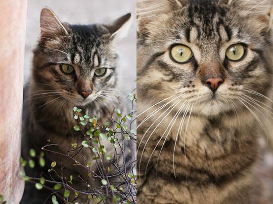 Beau chat tigré
