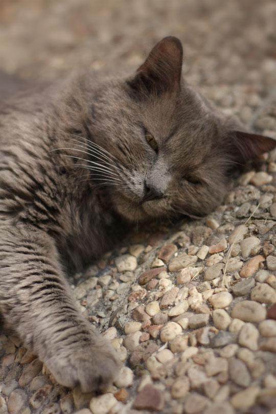 Chat angora gris cendre