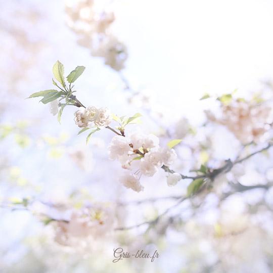 Fleurs blanches de prunus