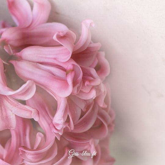 Jacinthe rose