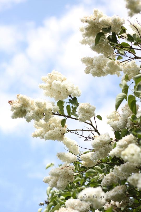 Lilas blanc en fleurs