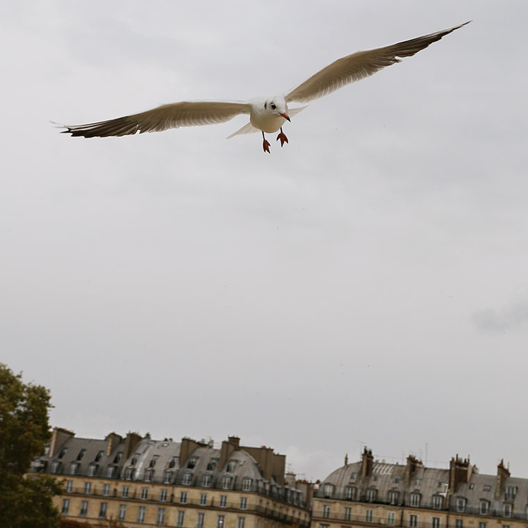 Mouette parisienne aux Tuileries