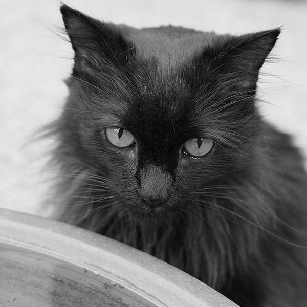 Le vieux chat noir