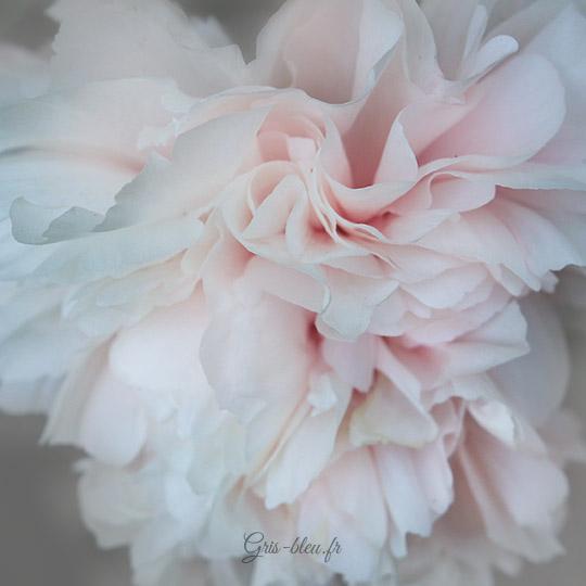 Une pivoine blanche du parc floral de Paris