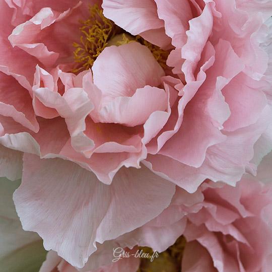 Une pivoine rose pâle au parc floral de Paris