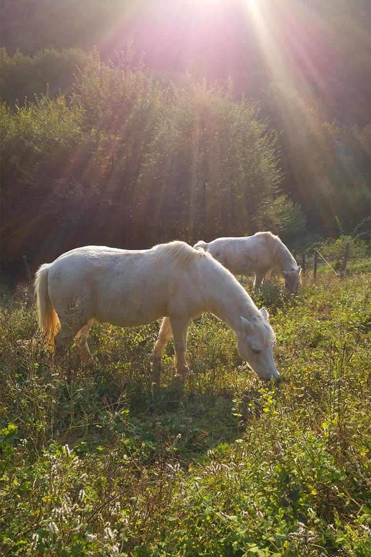 Poneys blancs