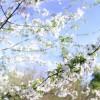 Prunus blanc